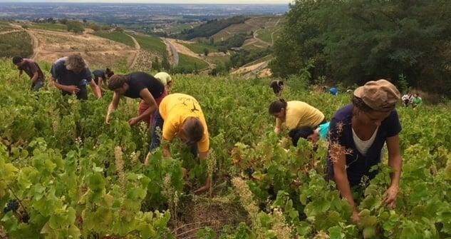 wine harvest beaujolais