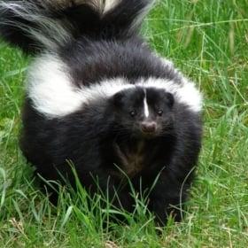 🦨 Skunk – French Story + Translation