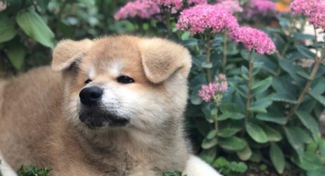 french puppy Okami