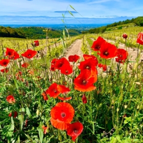 We Want Poppies – French Story + Translation