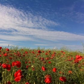 French immersion france loire poppies