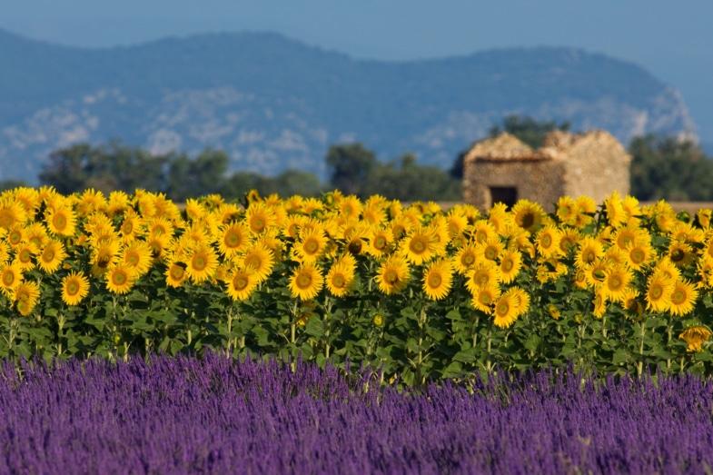 Lavender and sunflower french immersion residential program teacher provence france