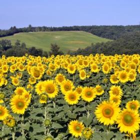 tarn sunflower field learn french