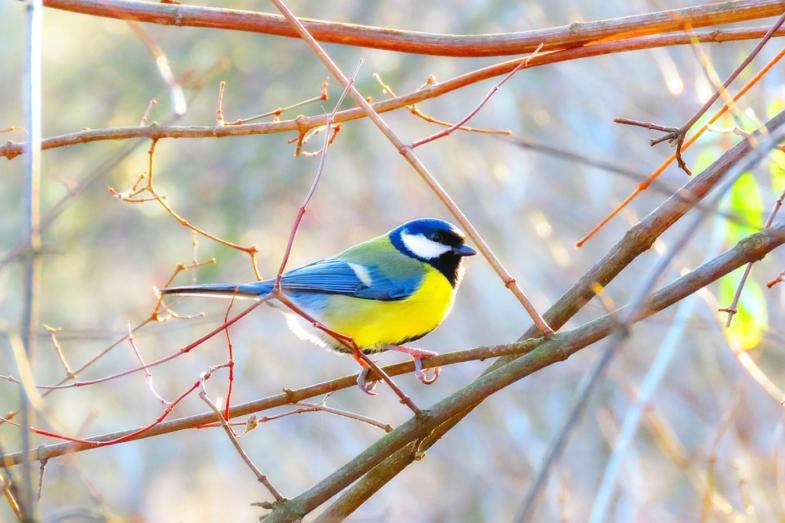 blue finch on a branch